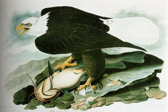 The Bald ­Headed Eagle From Birds Of America by John James Audubon.