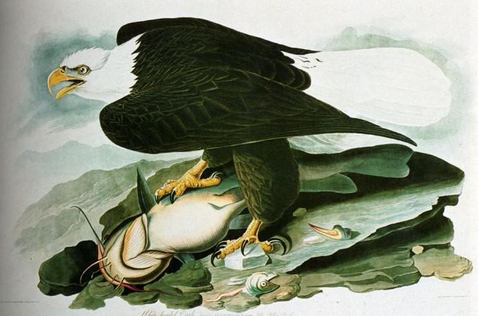 The Bald Headed Eagle From Birds Of America by John James Audubon.