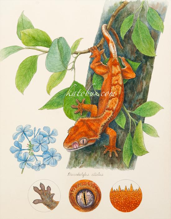 Rhacodactylus_ciliatus_800