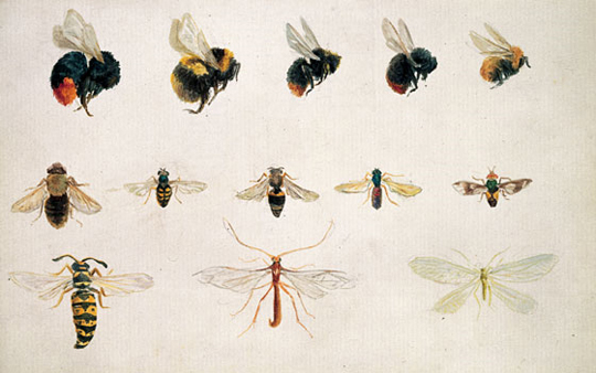 Beatrix-Potter, Studies-of-bees-and-other-insects