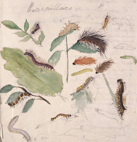 Drawing of caterpillars by Beatrix Potter from her sketchbook, age 8.
