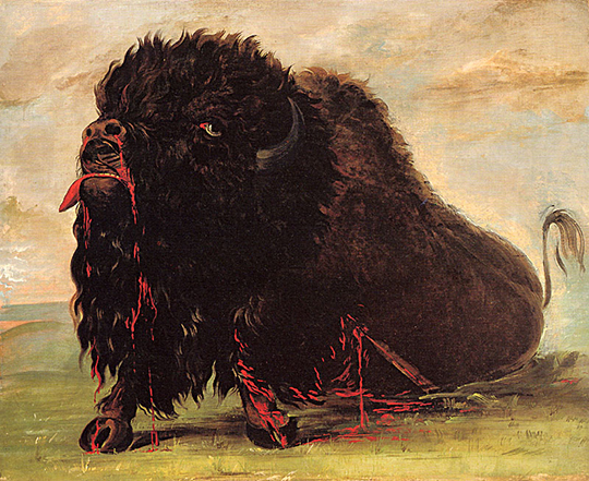 Dying buffalo, shot with arrow. Dramatic end of an individual bison foreshadowed events to come for both the immense buffalo herds and native Americans of the Great Plains. George Catlin, 1832-33, oil.