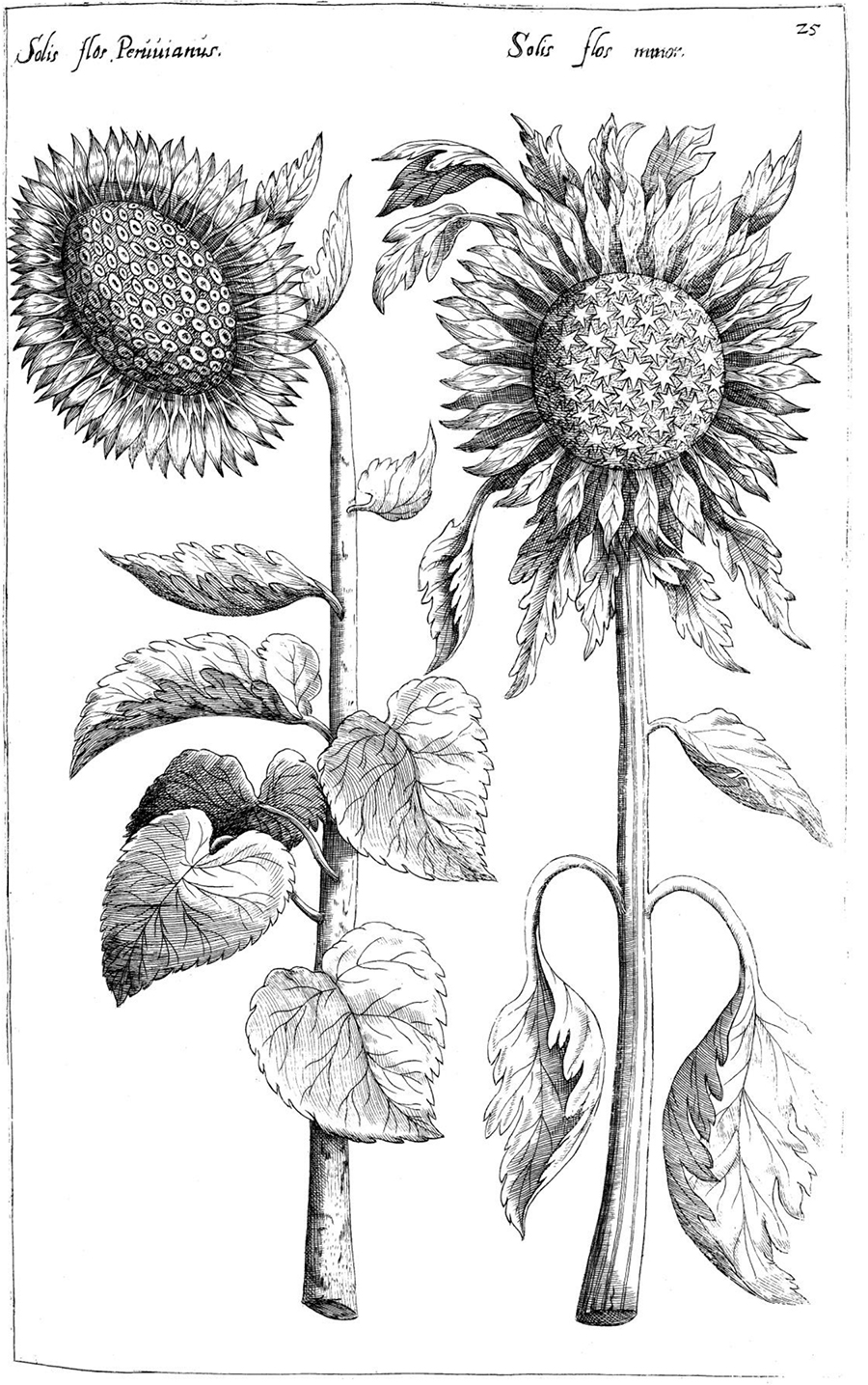 Sunflowers-free-coloring-page